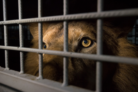 One of 33 rescued South American circus lions en route to a South African sanctuary, 2016